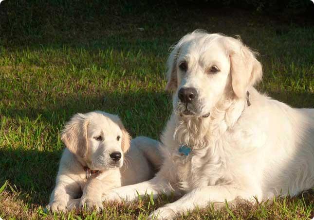 Cría Selección Y Venta De Cachorros De Golden Retriever En Barcelona