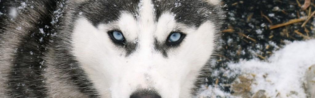 mushing el gos blanc