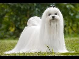 Bichon maltes el gos blanc