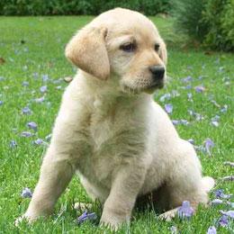 Labrador retriever el gos blanc