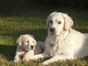 golden retriever barcelona - hembra-cachorro