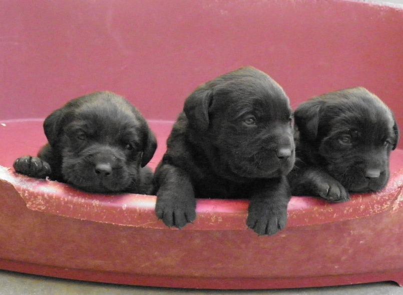 Cria de Labrador Retriever